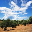 Old olive trees, Greece — Stock Photo #65043161