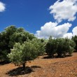 Old olive trees, Greece — Stock Photo #65043201