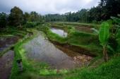 Terrace rice fields on Bali, Indonesia — Stock Photo