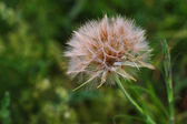 Dandelion, summer time — Photo