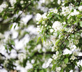 Flowers of apple — Stock Photo