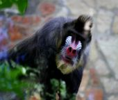 Mandrill. Monkey in zoo. — Stock Photo
