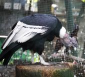 Condor in zoo — Stock Photo
