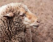 Woolly sheep in zoo — Stock Photo