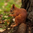 Red squirrel in autumn forest — Stock Photo #74261419