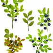 Blueberry plants — Stockfoto #55494599
