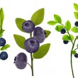 Blueberry plants — Stockfoto #55494607