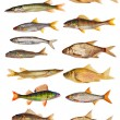 Freshwater fishes — Stock Photo #55496107