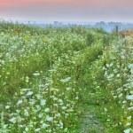 Milfoil field — Stock Photo #55497103