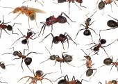 лесные муравьи — Стоковое фото