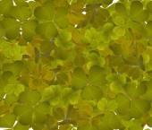 Trefoil leaves — Stock Photo