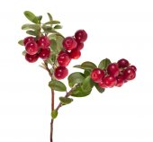 Cowberries branch — Foto Stock
