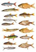 Freshwater fishes — Stock Photo
