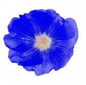 Blue mallow flower — Stock Photo