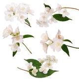 Jasmine bloom — Stock Photo