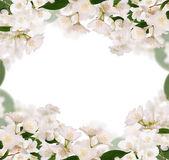 Jasmin flowers — Stock Photo