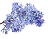 Flor lila — Foto de Stock