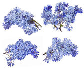 Blue lilac flower — Stock Photo