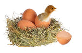 Chicken with eggs — Stock Photo