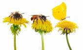 Dandelions with insects — Stock Photo