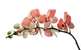 Orchid blossom — Stock Photo