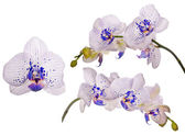 Orchids with blue spots — Stock Photo