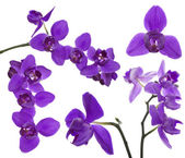 Lilac orchids — Stock Photo