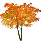 Red autumn maple tree — Stock Photo #55501269