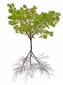 Green maple tree — Zdjęcie stockowe