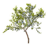 Small tree with blue flowers — Stock fotografie
