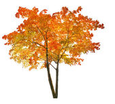 Red autumn maple tree — Stock Photo