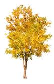Gold autumn tree — Stock fotografie