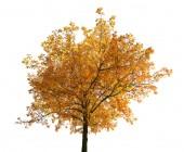 Brown fall oak tree — Stock fotografie
