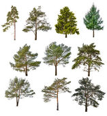 Coniferous trees — Stock Photo