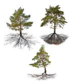 Pines with roots — Stock Photo