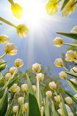 žlutý tulipán květy — Stock fotografie