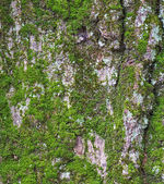 Pine rind an moss — Stock Photo