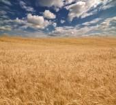 Golden wheat sea — Stock Photo