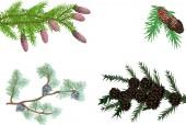 Evergreen branches — Stock Vector