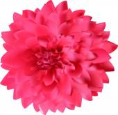 Georgina pink bloom — Stock Vector