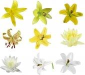 Conjunto de flores de lírio — Vetorial Stock