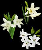 Flores de lírio branco — Vetorial Stock