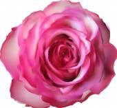 Rosa flor rosa — Vector de stock