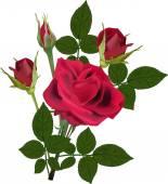 Dark red rose flower — Stock Vector