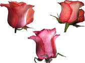 Dark red roses blooms — Stock Vector