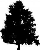 Fir  tree  silhouette — Stock Vector