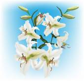 White lilies flowers — Stock Vector