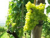 Grapes in a vineyard — Stock Photo