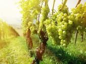 Druiven in een wijngaard — Stockfoto