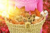 Autumn chestnuts and leaves in the basket — Stock Photo